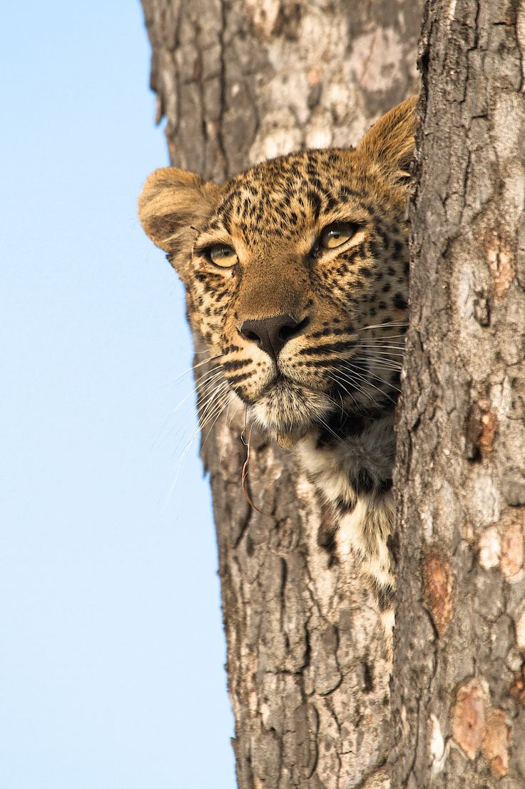This image was taken just after this female had lost her kill to a lioness and had been chased up a marula tree.