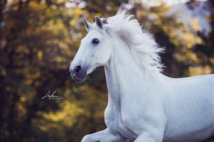 Weisser Lusitano Wallach galoppiert über die Wiese | Schimmel | Pferd | Bilder | Foto | Fotografie | Fotoshooting | Pferdefotografie | Pferdefotograf…