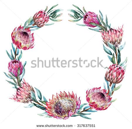 Watercolor isolated illustration Round wreath, an exotic pink flower Protea flower Australia, floral vintage frame illustration watercolor - stock photo