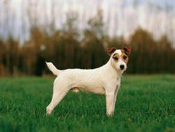 Chien Parson Russell Terrier