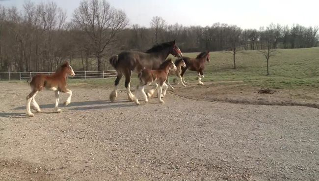 Budweiser has welcomed nine new members of its Clydesdale family so far this year.