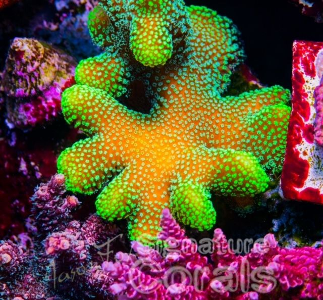 Coral Propagation: The 25+ Best Coral Frags Ideas On Pinterest