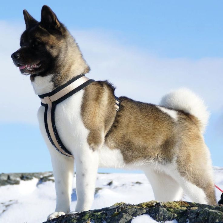 "Click visit site and Check out Best ""Akita Dog"" T-Shirts & Hoodies. This website is superb.  Tip: You can type ""your first name"" or ""your favorite shirts""  by using search bar on the header.   #akita"
