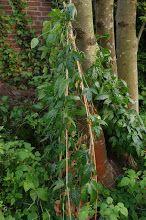 Passionsfrucht /Maracuja - vom Kern zur Pflanze