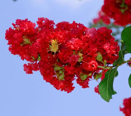 Dynamite Crape Myrtle | Red Crape Myrtle Tree for Sale | Fast Growing Trees