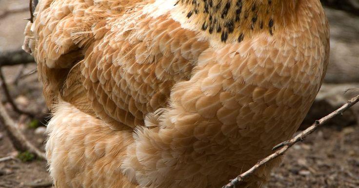 Remédios caseiros para aves com o papo cheio. A goela é o esôfago das aves, que começa na parte de trás da garganta e vai até o papo. O papo segura a comida até que a digestão comece. Depois das refeições desses animais, você pode sentir o papo logo abaixo da garganta, no peito. Normalmente possui o tamanho de uma bola de golfe e deve ficar firme e arredondado quando está cheio.