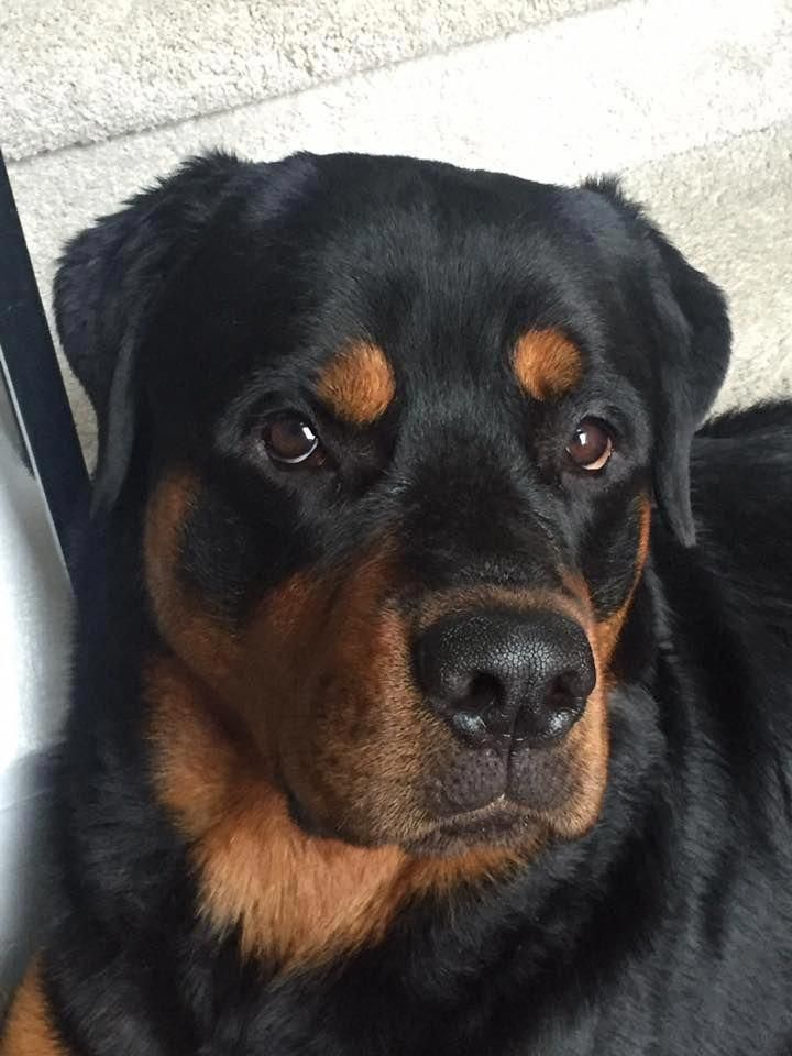 Exceptional Rottweiler Pups Info Is Available On Our Site Read More And You Wont Be Sorry You Did Dog Breeds