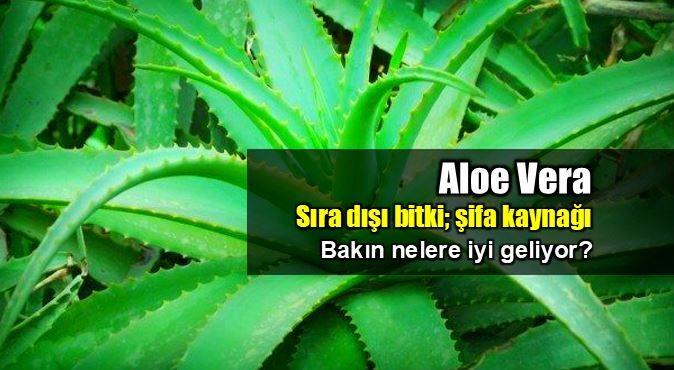 Aloe Vera; Uzun yıllardır hepimiz okumuşuzdur, gazete ve dergilerin şifalı otlar, bitkiler köşelerinde ilgili iddialı yazıları.