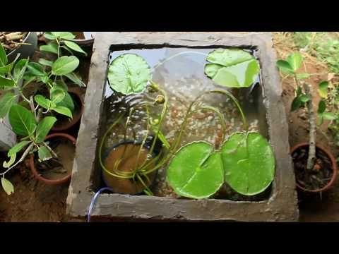 Water Lily I Platy Fish I Red Molly Fish I Pond setup aquarium - YouTube
