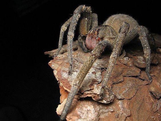 ctenidae brasileño. araña más venenosa del mundo.