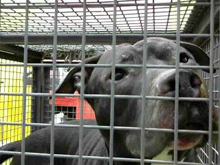 DEVORE, CA - EUTH LIST. Gulliver ID#A682426. 1 yr. old Pit Bull Terrier. Rescue only. Dog Aggressive. Arrived 09/22/17