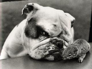 ...Funny Pics, Friends, Squirrels, English Bulldogs, Baggy Bulldogs, Dogs Photos, Dogs Pictures, Funny Animal, Bulldogs Postcards