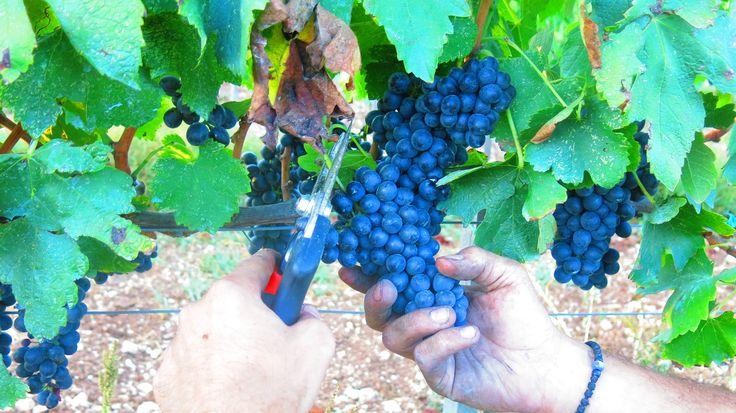 A beautiful bunch of Shiraz grapes at Fikardos Winery organic vineyards in Cyprus