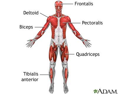 Muscles affected in limb-girdle muscular dystrophy -- but I say so what?  I'm gonna keep getting bigger in spite of it.