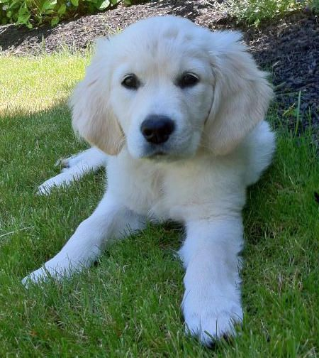 via the daily puppy  Puppy Breed: Golden Retriever  Jospehine is a high-energy English cream retriever from Washington, D.C. who loves to play and have fun. She loves to hike and scale cliffs down in Rock Creek Park and then cool off in any body of water, river or puddle. She only hydrates straight from the bottle, and loves to be around people. Her only fault is her coat is so white, she gets dirty no matter where she goes or what she gets into!