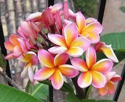 Image result for frangipani tree