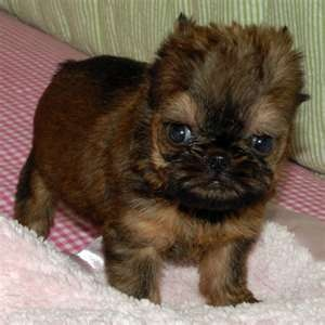 Brussels Griffon puppy.  Charlie's mother is a Brussels Griffon, but Charlie is the smooth kind.