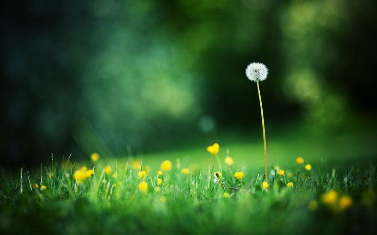 2560x1600 macro, grass, flowers, dandelion, summer, glade, photo ...
