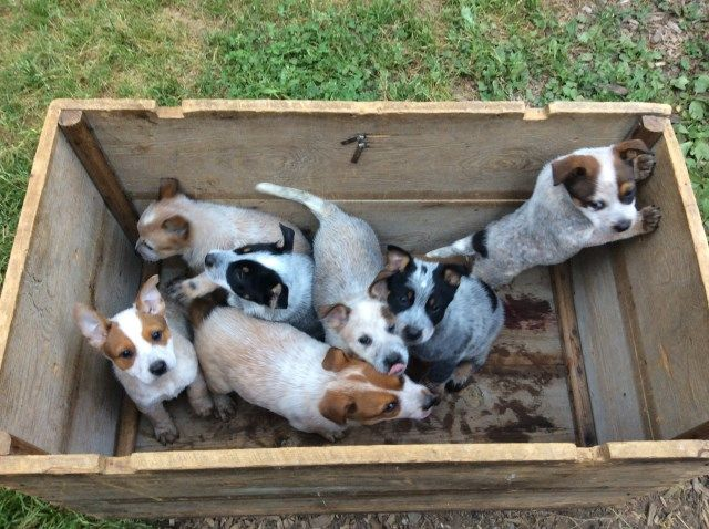 Australian Cattle Dog Puppies Australian Cattle Dog Puppy Cattle Dogs For Sale Australian Cattle Dog
