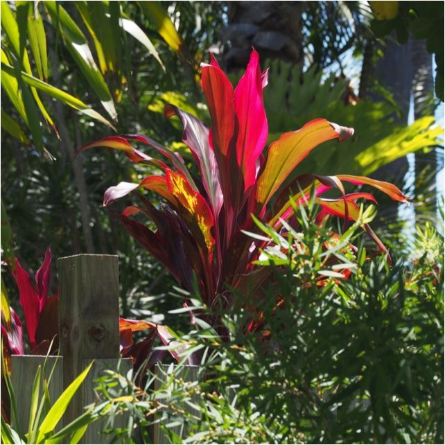 Ti (cordyline fruticosa): Cordyline fruticosa is an evergreen flowering plant in the Asparagus family, Asparagaceae, known by a wide variety of common names, including cabbage palm, good luck plant, palm lily, ti plant, Kī, Lā'ī (Hawaiian), Tī Pore (Māori), Sī (Tongan), Lauti (Samoan), and ʻAutī (Tahitian).  Formerly treated in the families Agavaceae and Laxmanniaceae (now both subfamilies of the Asparagaceae in the APG III system), it is a woody plant growing up to 4 m (13 ft) tall, with…