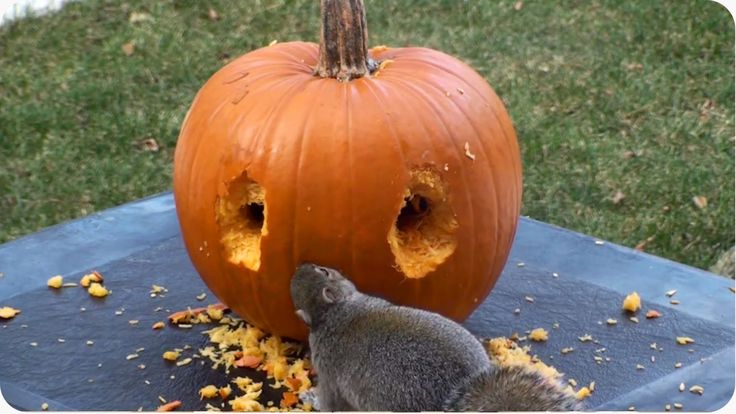 A creative squirrel uses his teeth to carve a rudimentary face into a pumpkin while trying to keep other squirrels away. It's unclear if the little guy is planning on wearing it as a Halloween mask...