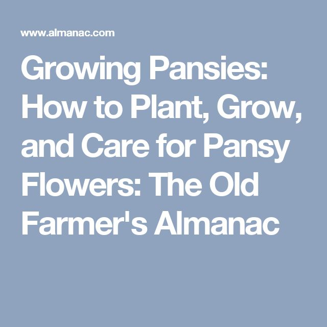 Growing Pansies: How to Plant, Grow, and Care for Pansy Flowers: The Old Farmer's Almanac