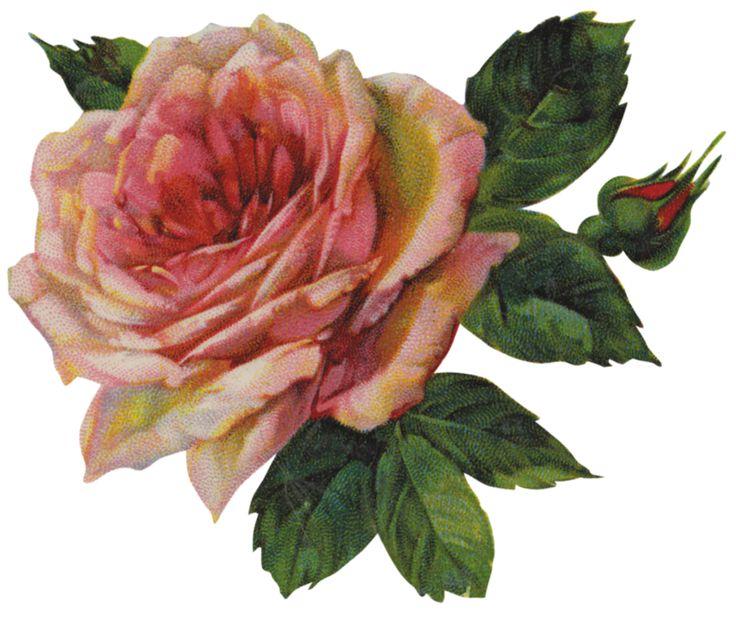 Pink rose & bud ~ PNG image