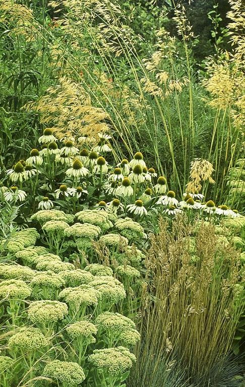 green-on-green planting combination: Stipa gigantea, echinacea 'White Swan' and Sedum