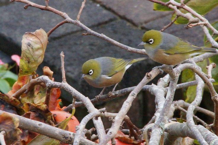 Waxeye birds