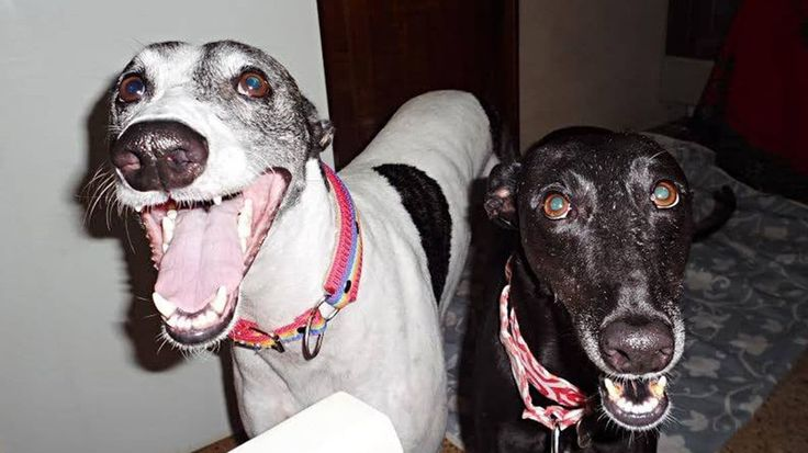 #A 8 meses de la prohibición de carreras de perros, tres conmovedoras historias de galgos rescatados - Infobae.com: Infobae.com A 8 meses…