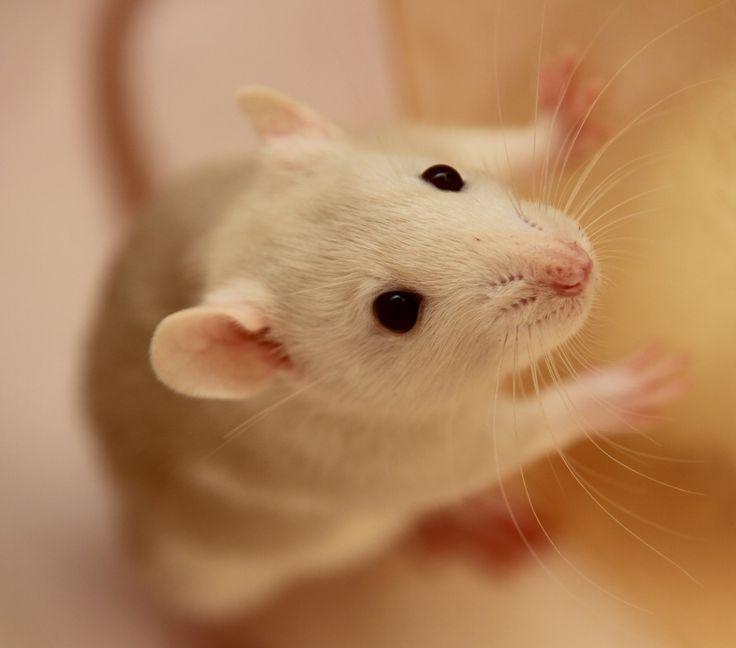 rats   Tumblr