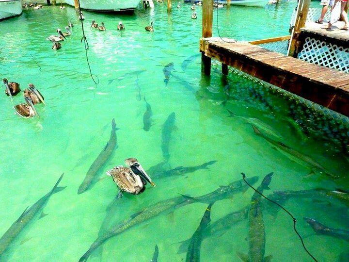 Robbies Marina, Islamorada Florida Keys.  Tarpon.  ( Been there, done that and we have the shirt ......)