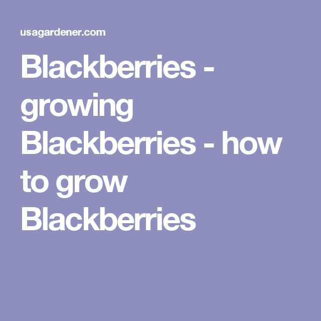 how to grow blackberries from a blackberry