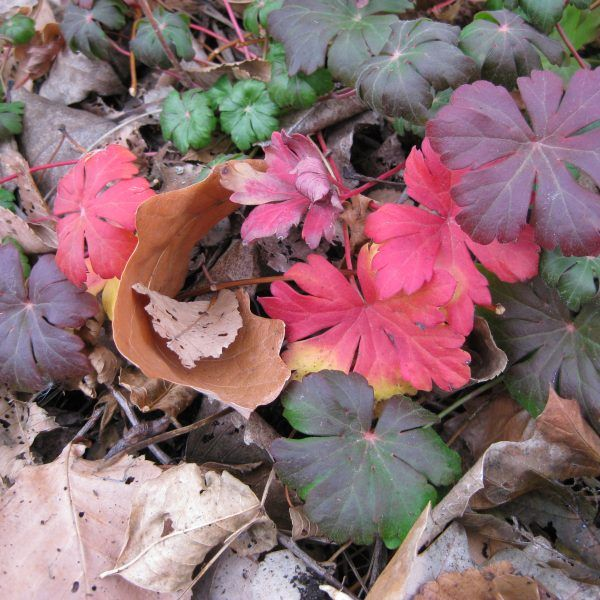 Perennials For Fall Color National Garden Bureau Geranium Plant Early Spring Flowers Perennial Geranium,Viewing Checklist Questions To Ask When Buying A House Checklist