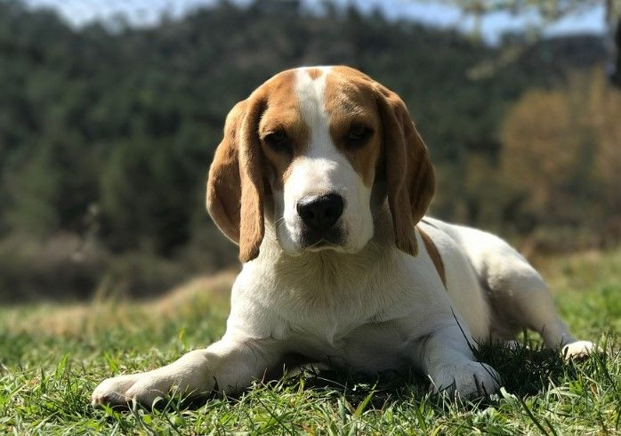 8 Different Types Of Beagles You Should To Know Types Of