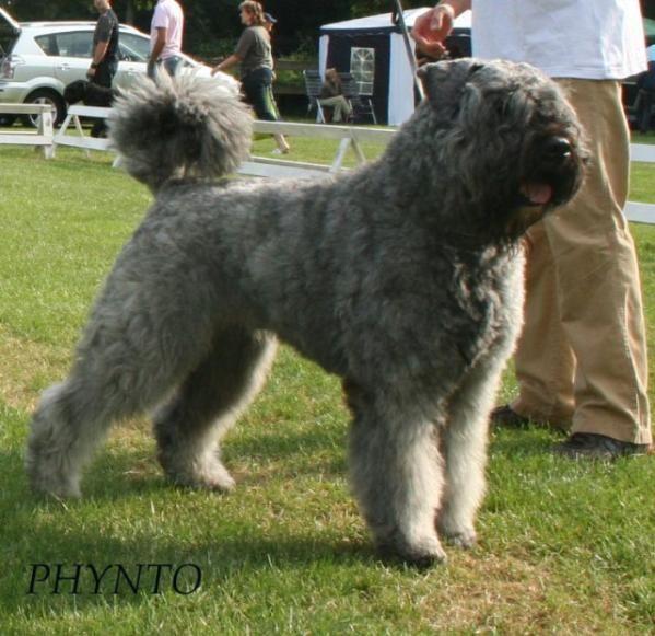 Female Bouvier Puppy for Sale | Ch. Phynto v. Kasr Anubis