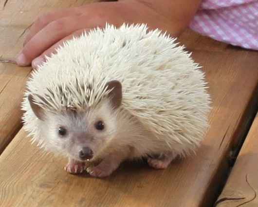 What a gorgeous color! Scrubs Brushes, Gorgeous Colors, Sooo Cute Hedgehogs, Hedgehogs Pet, Pet | Cute Animals