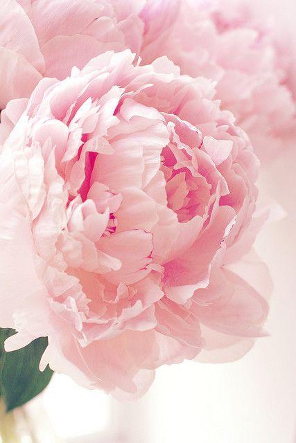 Peonie- flowers are so beautiful.