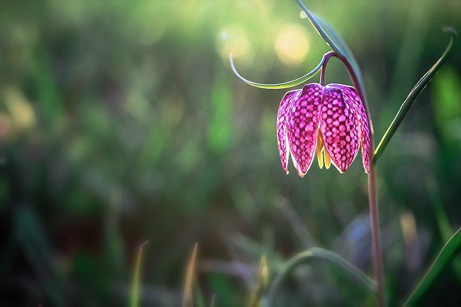 Mocsári Kockásliliom -Fritillaria meleagris - Az év vadvirága 2016  Fotó: Shutterstock