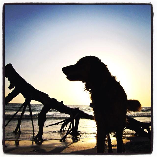 Backlit dog on Naples beach.