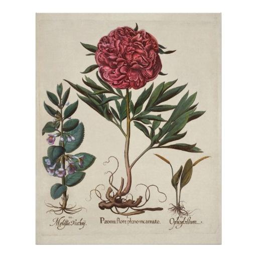 Botanisk röd pion för vintage affisch