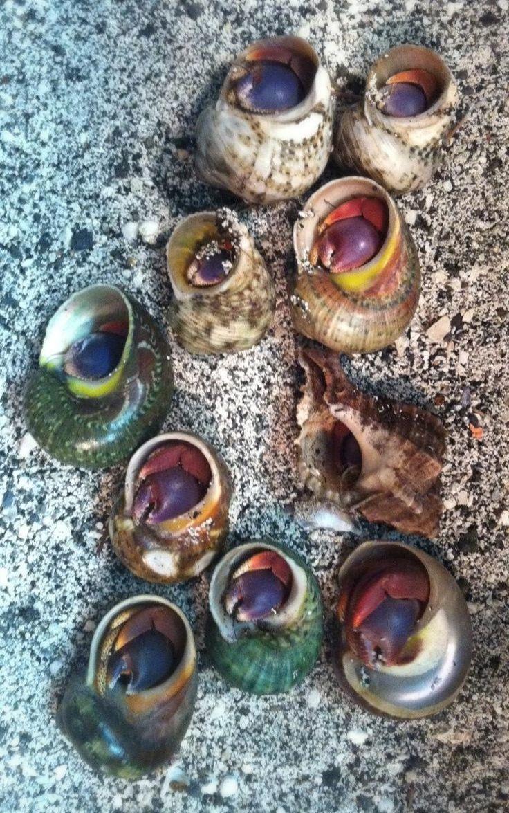 101 best hermit crabs species images on pinterest hermit crabs