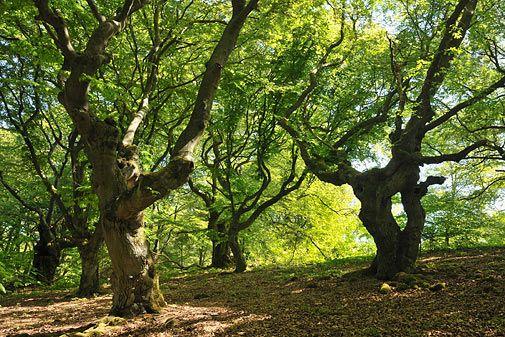Der Kellerwald in Hessen, Geprägt von alten Buchen, ein Wald der an vielen Stellen noch echter Urwald ist. Herrlich. Schöner und interessanter Beitrag dazu bei GEO.