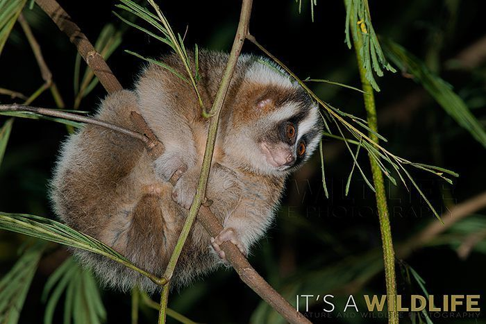 Asia | Javan slow loris (Nycticebus javanicus). Status: Critically Endangered.  Range: Three provinces in Indonesia. Population: Unknown; severely fragmented and believed to be decreasing.