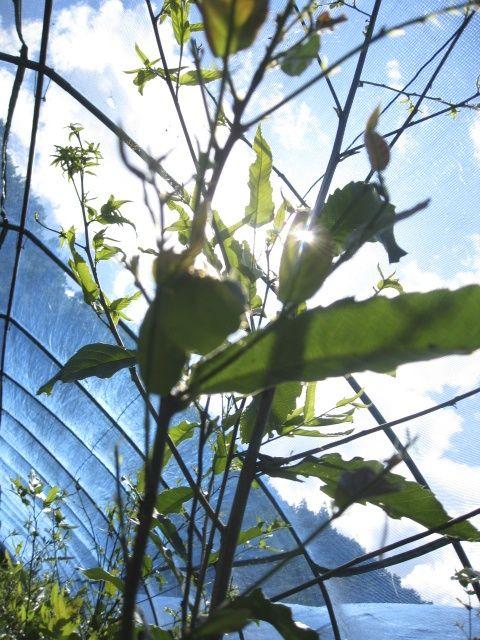 TENSAN: Japanese oak silk moth farm. 天蚕ファーム