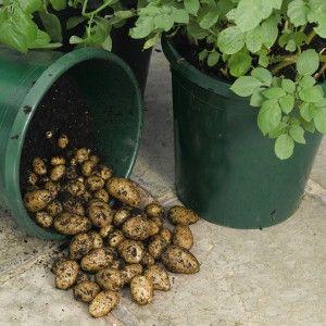 Grow potatoes in buckets