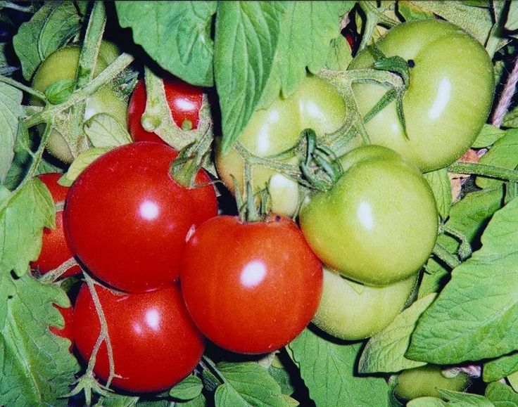 VF1 & 2 Indeterminate. Ask any greenhouse around here what the best selling tomato is, they will tell you Early Girl. Modest-sized plants mature rapidly and begin to yield 4-6 ounce fruit within a cou                                                                                                                                                      More