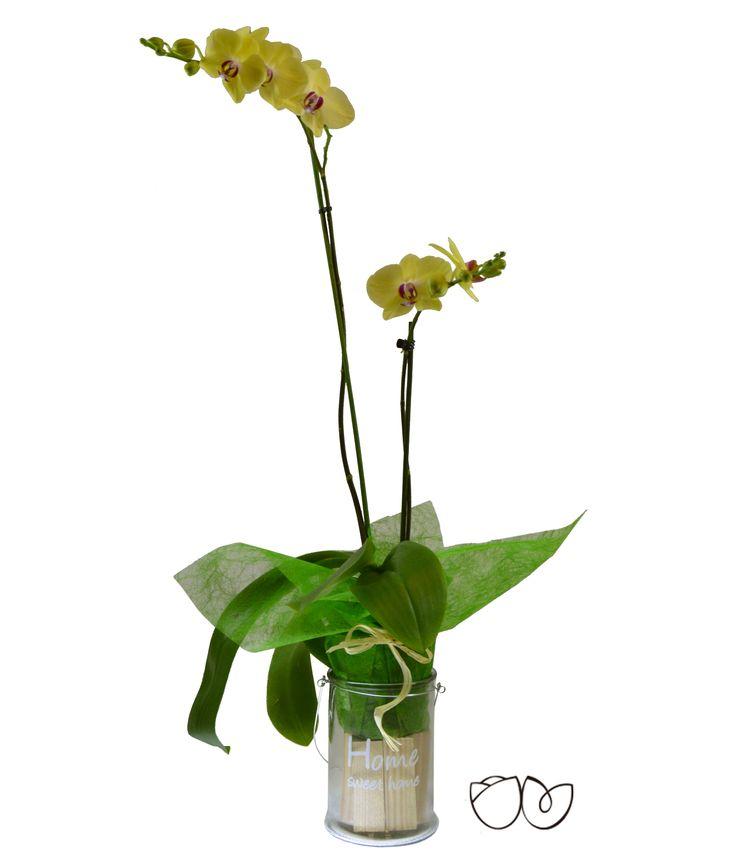*Planta Orquídea Amarilla* La Phalaenopsis comúnmente conocida como Orquídea es un detalle ideal para demostrar el afecto a una persona querida que se sorprenderá por la gran belleza y sutileza de esta planta.