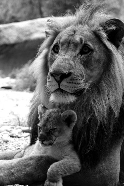 The Conquering Lion - ROar