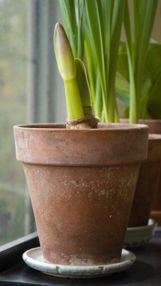 How To Rebloom an Amaryllis Flower